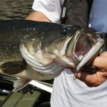 Rapala Waking Minnow produces trophy largemouth!