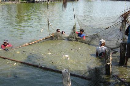Danger of asian farm raised fish canadian sportfishing for Farm raised fish