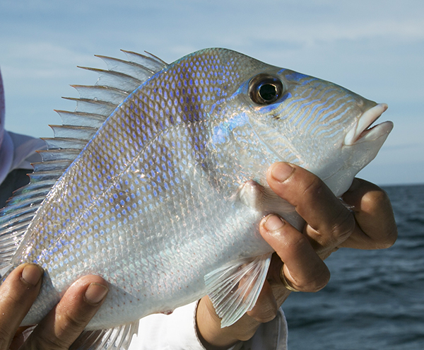 Porgy gulf of mexico florida canadian sportfishing for Florida gulf fish