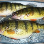 Rapala Knife & Cleaning Board tip on 3-ways of cleaning panfish.