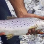 Brown trout, Greater Himalayas.
